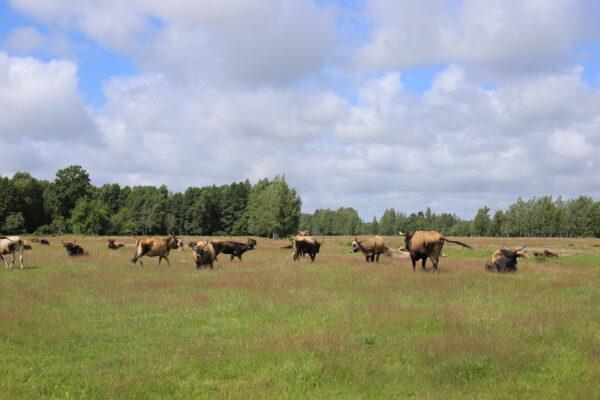 Paper laukinių arklių ganyklos (2)